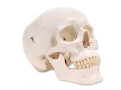 23581 Menschliches Skelett aus Kunststoff