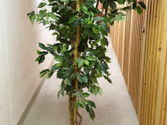 28212 Ficus Liane Grossblatt, grün, 170cm