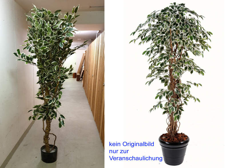 28214 Ficus Liane Grossblatt, grün-weiss